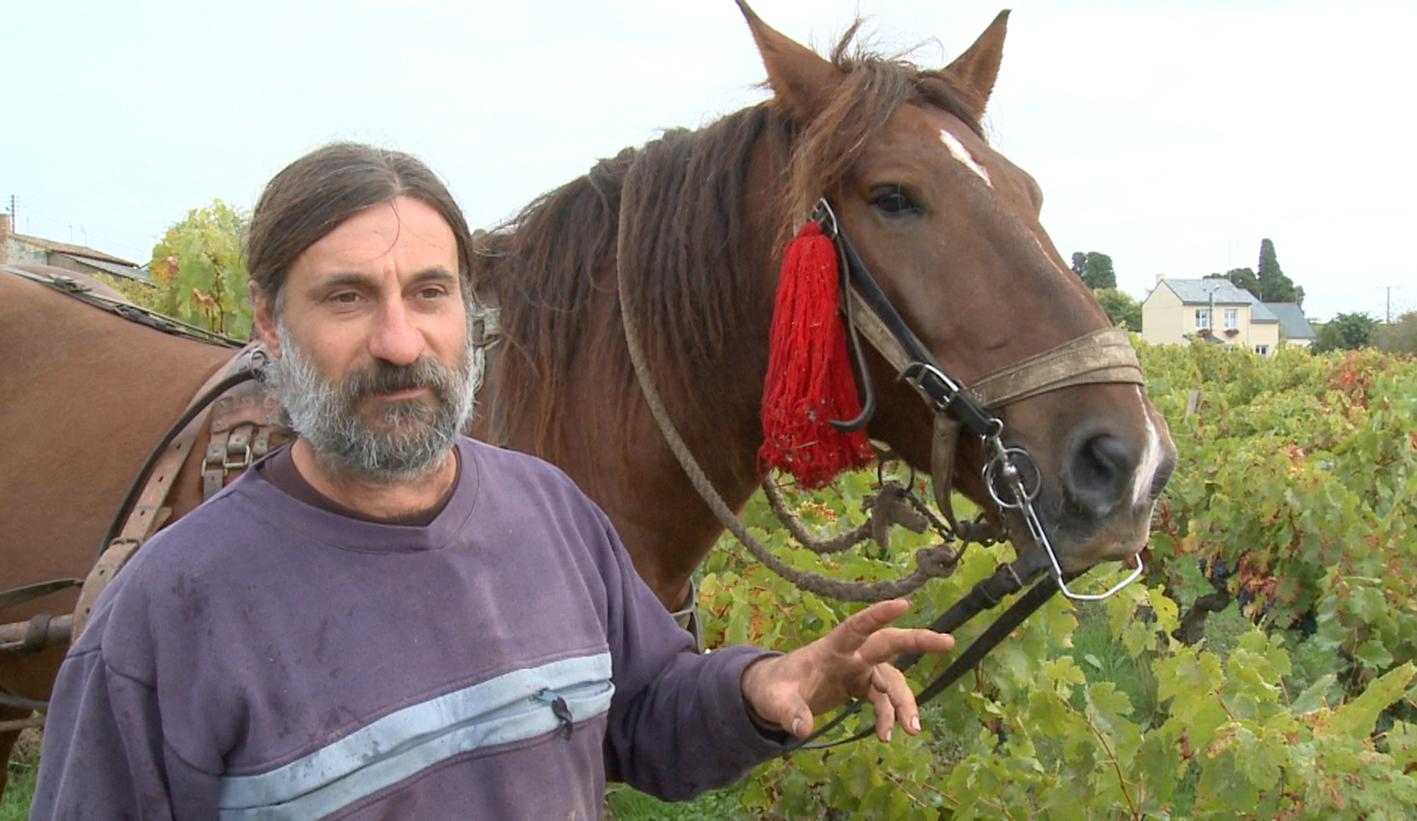 je cultive mes vignes avec des chevaux - Shamengo